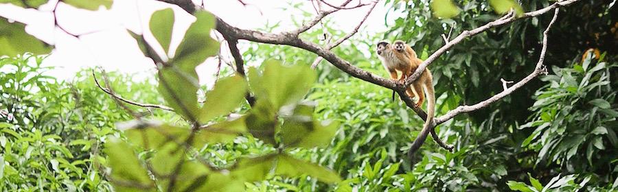 monkeys in a tree in costa rica